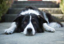 Comment traiter les calculs vésicaux chez les chiens