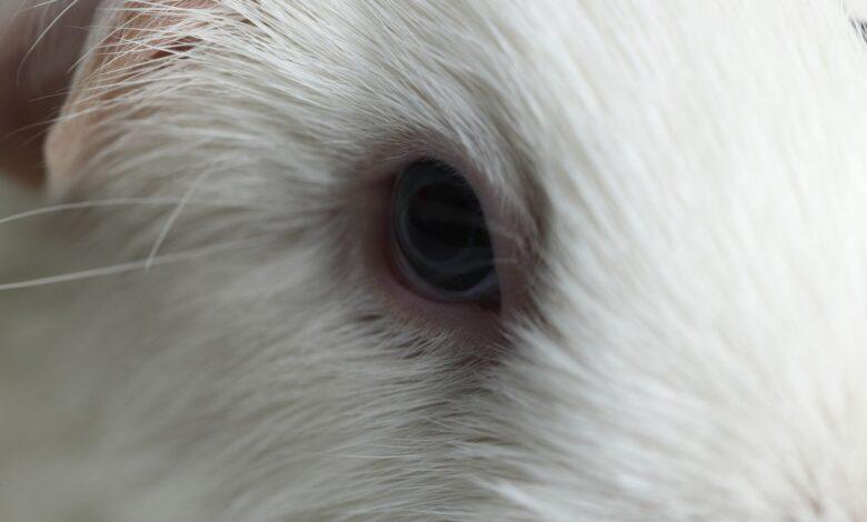 Comment traiter les infections et les problèmes oculaires chez le cochon d'Inde