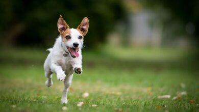 Comment traiter les lymphomes chez les chiens