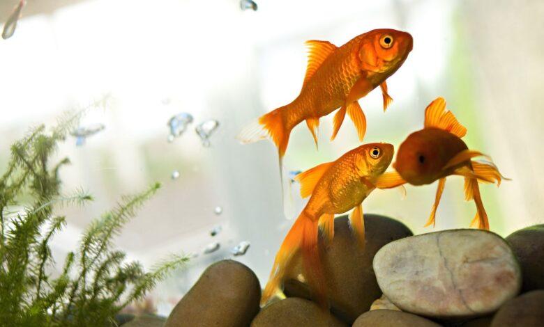Comment traiter les troubles de la vessie natatoire chez les poissons d'aquarium