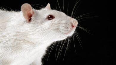 Comment traiter les tumeurs chez les rats