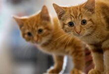 Comment traiter les vers ronds chez les chats
