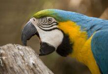 Comportement de bluff (mordant) chez les perroquets