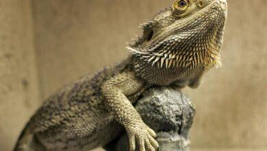 Comportement du dragon barbu - Ce dont votre animal de compagnie a besoin
