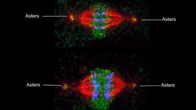 Des astres : Réseaux de microtubules en forme d'étoile