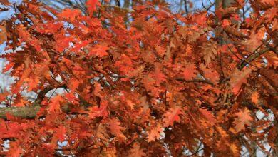 Des chênes pour le feuillage d'automne