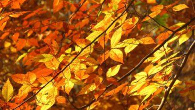 Des hêtres pour le feuillage d'automne (Beechnuts)