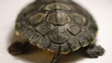 Déterminer le sexe d'une tortue