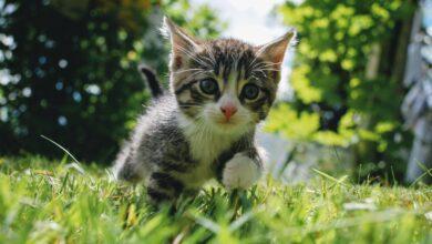 Développement du chaton de 3 à 6 mois
