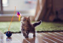 Développement du chaton de 6 à 12 semaines
