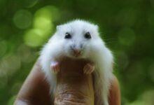 Différents types de hamsters pour les animaux de compagnie