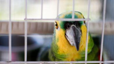 Dimensions des cages et espacement des barreaux pour les oiseaux de compagnie