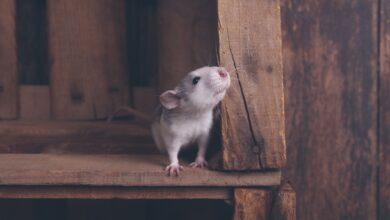 Du bois sûr et toxique à mâcher pour les rats