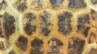 Écailles de tortue et de tortue marine