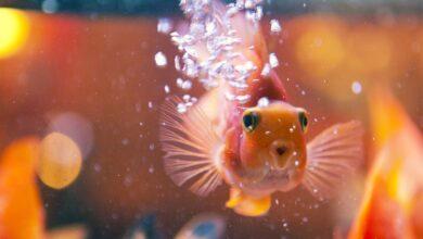 Espèce de poisson cichlidé perroquet sanguin