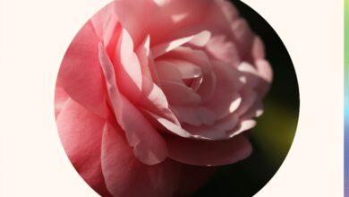 Extrait de feuille de Camellia Oleifera : le guide complet