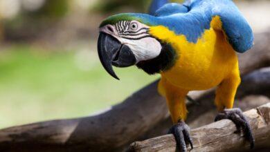 Fièvre des perroquets (psittacose) - Causes, symptômes et traitement