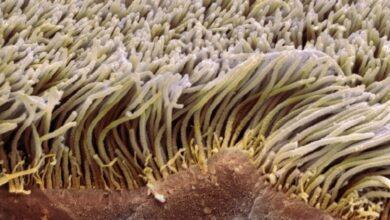 Fonction Cilia et Flagella