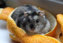 Garder et soigner les hamsters nains comme animaux de compagnie