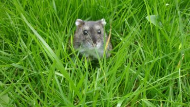 Garder et soigner les hamsters russes blancs d'hiver