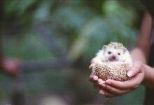 Garder et soigner les hérissons pygmées africains comme animaux de compagnie