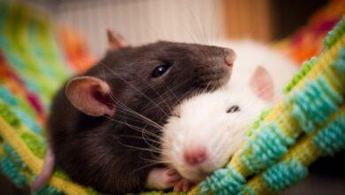 Garder et soigner les rats de compagnie