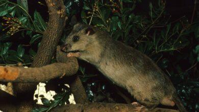 Garder et soigner les rats de poche gambiens comme animaux de compagnie