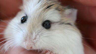 Garder les hamsters comme animaux de compagnie - Prendre soin des hamsters