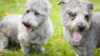Glen of Imaal Terrier : Profil de la race canine