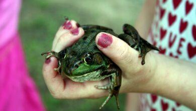 Grosseurs de grenouilles, bosses et croissances