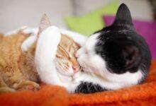 Guide de l'accouplement et de la reproduction des chats