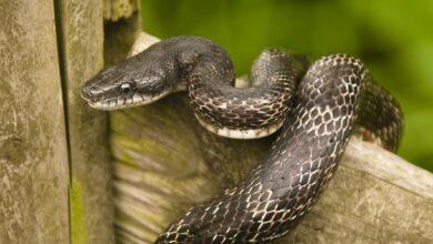 Guide de soins pour les serpents rats noirs en tant qu'animaux de compagnie