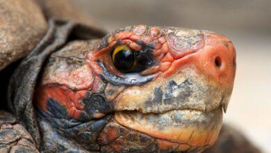 Guide de soins pour les tortues à tête cerise et à pieds rouges en tant qu'animaux de compagnie