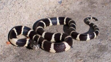 Guide des soins à apporter à un serpent royal ou à un serpent de lait en tant qu'animal de compagnie