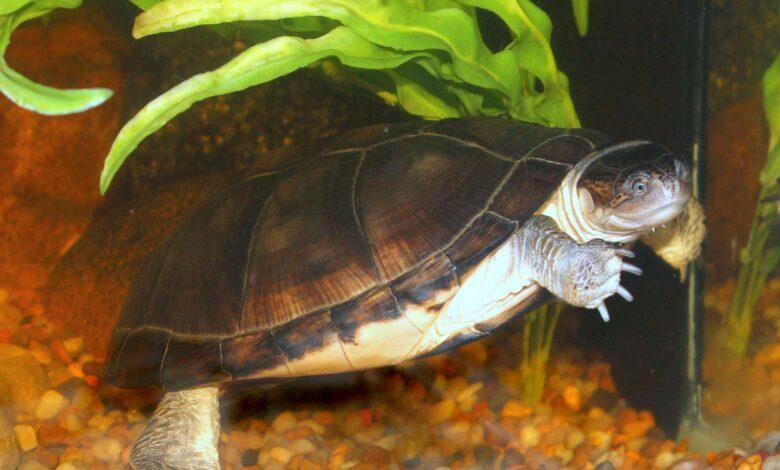 Guide des soins à apporter aux tortues de Sideneck africaines en tant qu'animaux de compagnie