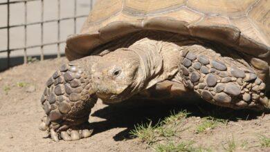 Guide pour les soins aux tortues Sulcata en tant qu'animaux de compagnie