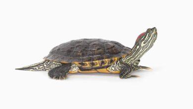 Guide pour les soins aux tortues à oreilles rouges en tant qu'animaux de compagnie