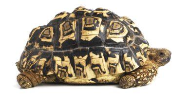 Guide pour les soins aux tortues léopards en tant qu'animaux de compagnie