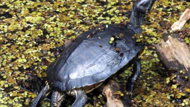 Photo de Guide pour les soins aux tortues musquées communes en tant qu'animaux de compagnie