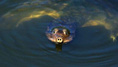 Guide pour les soins aux tortues softshell en tant qu'animaux de compagnie