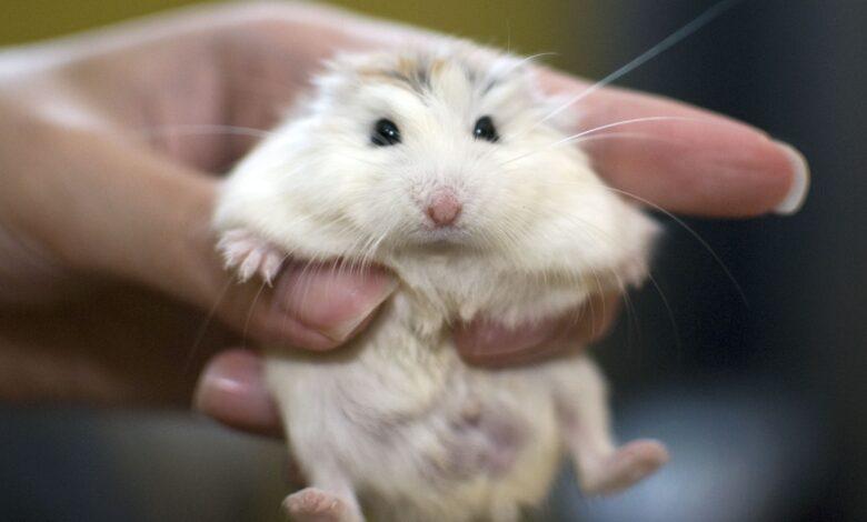Informations sur l'élevage du hamster nain Roborovski