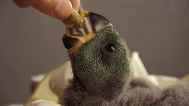 Photo de Introduire de nouveaux aliments pour les oiseaux de compagnie difficiles