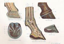 Laminitis ou fondateur