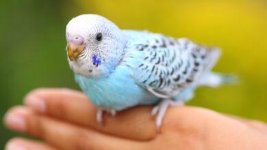 Le dressage de votre perroquet de compagnie - Monter, descendre