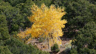 Le feuillage d'automne des trembles