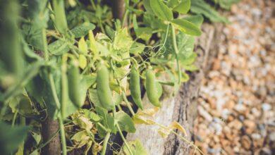Légumes et herbes à planter en juillet