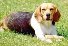 Les 15 meilleures races de chiens pour les familles à la recherche d'un nouveau compagnon