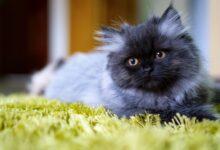 Les 15 meilleurs noms de chats persans