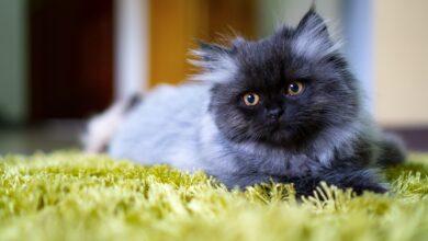 Photo de Les 15 meilleurs noms de chats persans