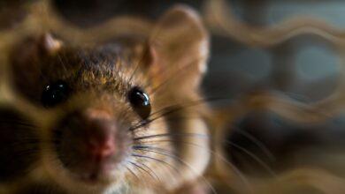 Les OGM présents dans la nourriture de vos rats peuvent-ils provoquer des tumeurs ?